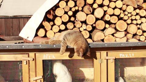 cat wants open rabbit - hutch Footage