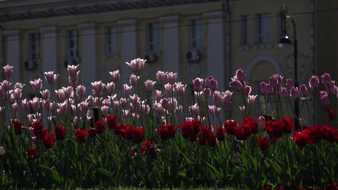Light lilac and deep red tulip on flower bed at city square, slow motion shot Footage