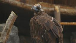 European Black Vulture (Aegypius Monachus) Footage