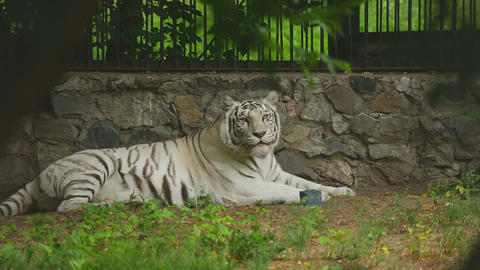 White tigress in ZOO Live Action