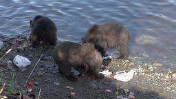 Three brown bear cub marauders loot equipment fisherman Footage