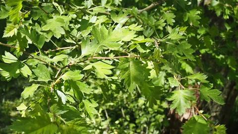 Tree Leaves Closeup Footage