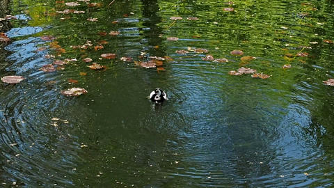 Duck And Duckling Are Swimming in The Lake Footage