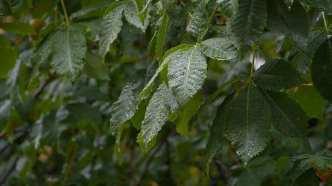 Dripping rain on the leaves of trees Footage