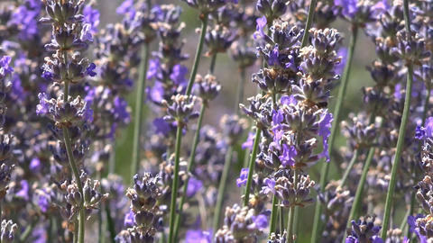 Lavender Flowers And a Bee Footage