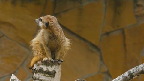 Meerkat looking out for danger Footage