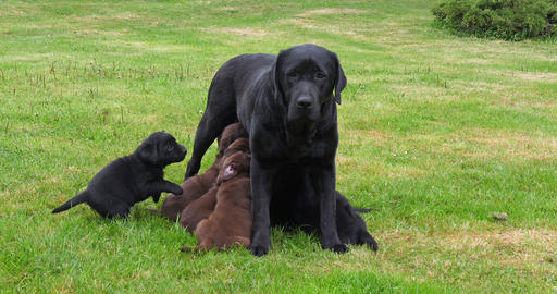 Black Labrador Retriever Bitch That Feeds Black and Brown Puppies, Normandy in France, Slow Motion Footage