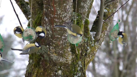 Great Tits Winter Feeding B Stock Video Footage