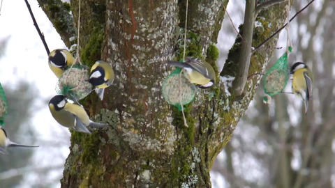Great Tits Winter Feeding B Footage