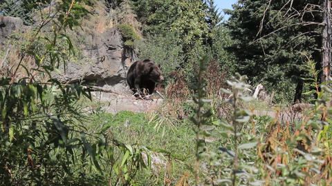 Large Brown Bear Pacing Stock Video Footage