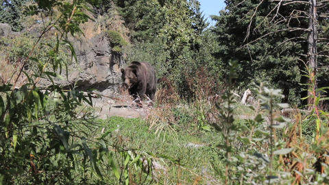 Large Brown Bear Pacing Live Action