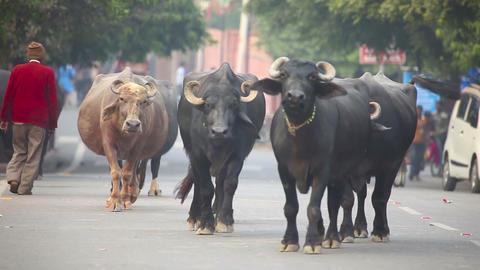 IIndian Buffalos Footage