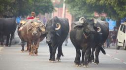 IIndian Buffalos Stock Video Footage