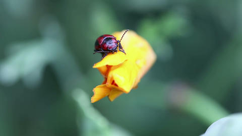 Black and red beetle Stock Video Footage