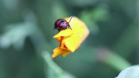 Black and red beetle Footage