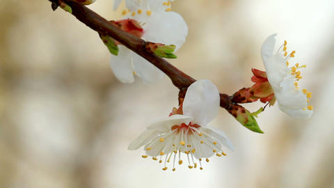 apricot flower in the sun Stock Video Footage