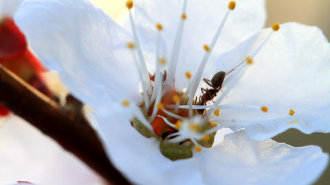 ants and flower apricot Footage