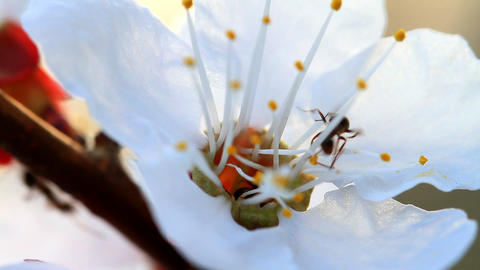 ants and flower apricot Stock Video Footage