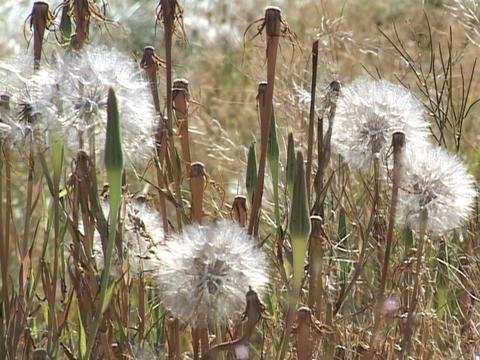 Seeds sit on dandelions in a field Stock Video Footage