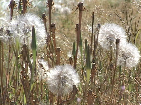 Seeds sit on dandelions in a field Stock Video Footage
