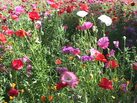 Colorful poppies and wildflowers grow in the foothills Stock Video Footage