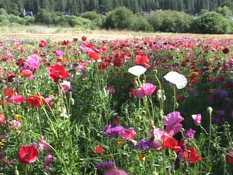 Colorful poppies and wildflowers grow in the foothills Footage