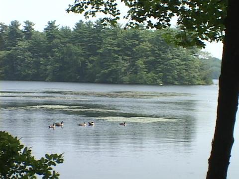 Ducks swim in a Massachusetts Lake Stock Video Footage