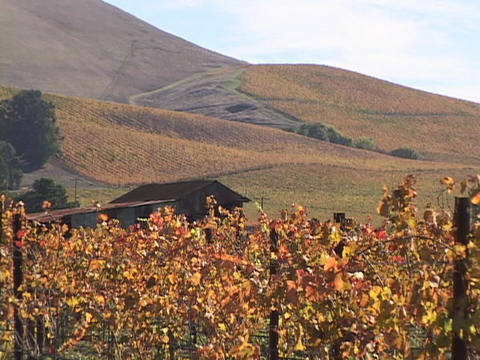 Grapes grow at a vineyard in Napa Valley, California Stock Video Footage