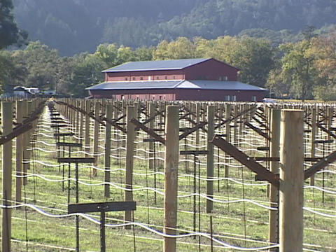 A vineyard with trellises grows in front of a large red barn Footage