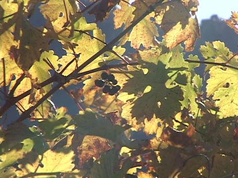 Small grapes grow with colorful leaves on vines Footage