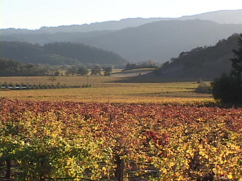 Wine grapes grow in a vineyard in Napa Valley Footage