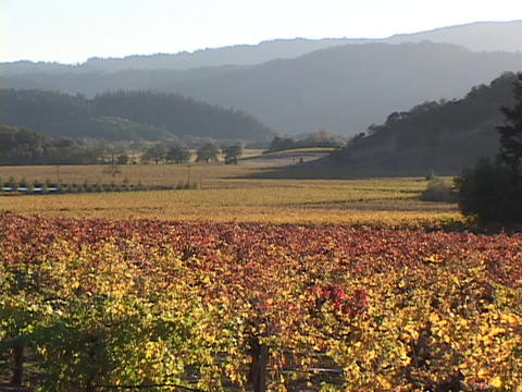 Wine grapes grow in a vineyard in Napa Valley Stock Video Footage