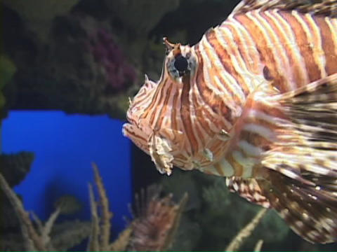 A lionfish swims slowly through the water Footage