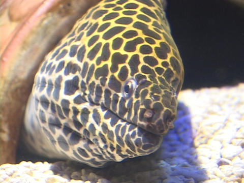 A moray eel lays in wait for prey to pass by Stock Video Footage