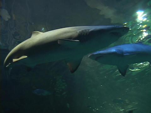 Sharks swim in the ocean Stock Video Footage