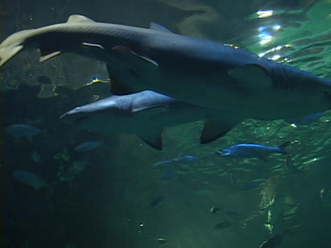 Sharks swim in the ocean Stock Video Footage