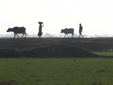 Villagers and farmers walk in silhouette near an Indian rice paddy Footage