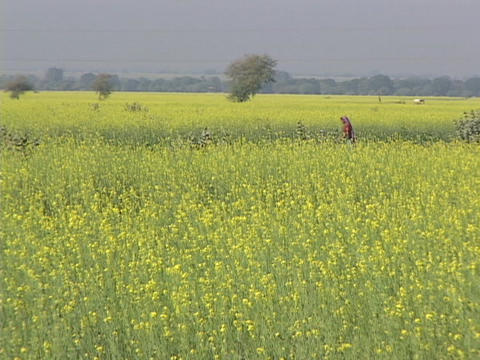A woman walks through mustard fields Stock Video Footage