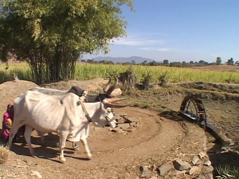 Cattle pull a primitive waterwheel in India Stock Video Footage