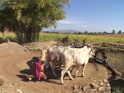 Cattle pull a primitive waterwheel in India Footage