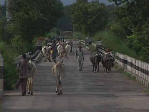 Men and cows walk down a country road Stock Video Footage