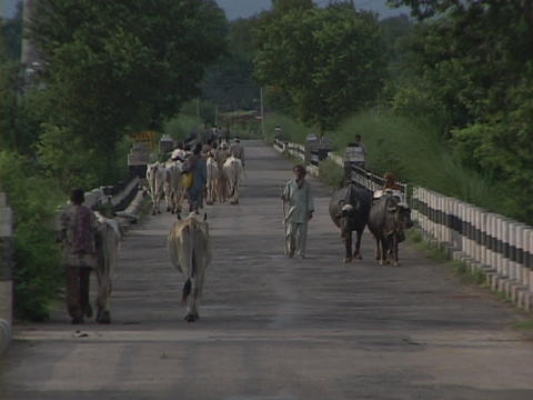 Men and cows walk down a country road Footage