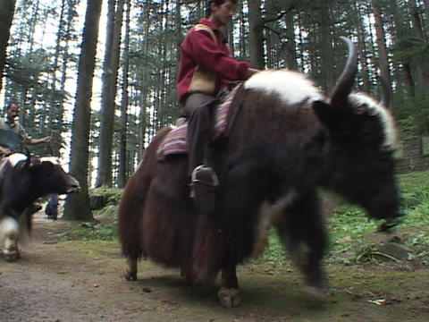 Men ride yaks through a forest in India Stock Video Footage