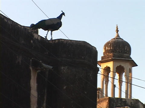 A peacock stands on the roof of a building near the Mogul Dome, India Footage