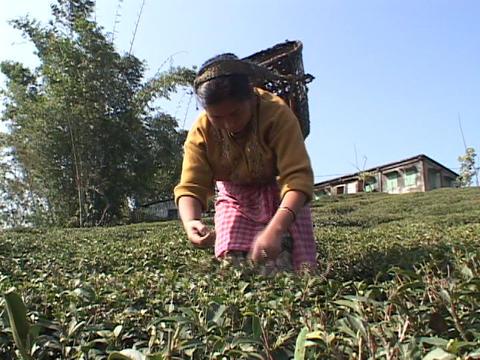 Workers pick tea leaves at a plantation near Darjeeling... Stock Video Footage