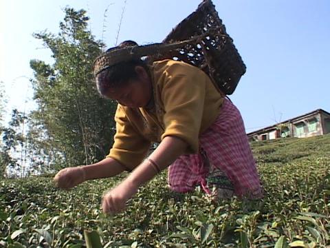 Workers pick tea leaves at a plantation near Darjeeling India Footage