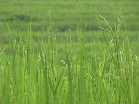 Rice paddies grow on terraces in India Stock Video Footage