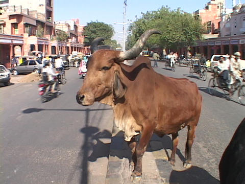 A Hindu holy cow stands on an Indian city street Stock Video Footage