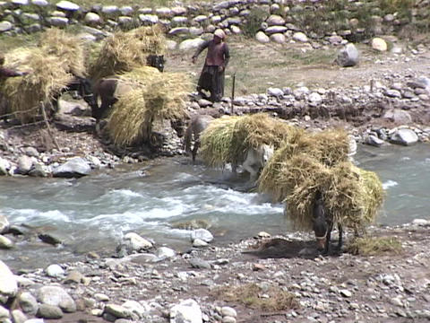 Horses carry bundles of wheat across a stream Stock Video Footage