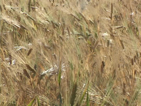 Wheat waves in the wind Stock Video Footage